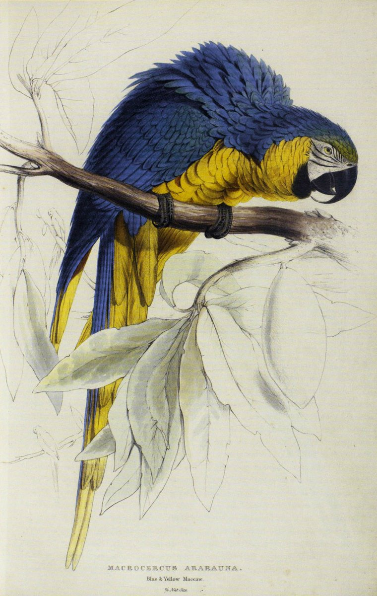 Blue and Yellow Macaw, lithograph by Edward Lear from Lear's book,  Illustrations of the