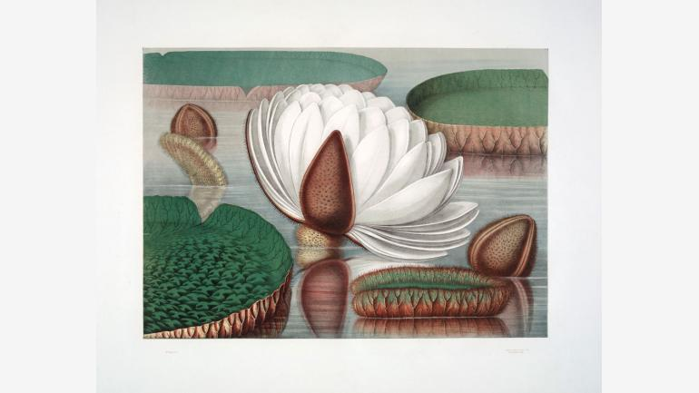 Sharp & Son, [Victoria Regia: Continued Bloom], 1854. Plate 6 in John Fiske Allen, Victoria Regia: The Great Water Lily of America (Boston, 1854). Chromolithograph. 22 x 29 inches (sheet). Boston Athenæum. Gift of the New England Historical Art Society, 1950