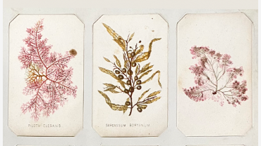 Three seaweed samples on white cards.